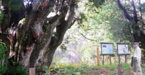 複雑な枝ぶりで大地に根を張った洞杉=いずれも富山県魚津市で
