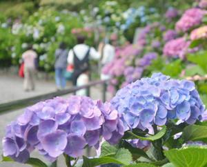 昨年より開花が早く、公園の下の方はすでに見頃となっている=下田市の下田公園で