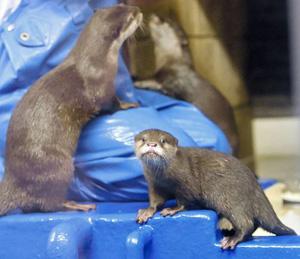 愛らしい表情を見せるコツメカワウソの赤ちゃん(手前)=坂井市三国町崎の越前松島水族館で
