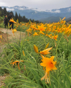 ニッコウキスゲの黄色い花が広がる白山高山植物園。後方に白山も見られた=白山市白峰で