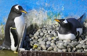 半日から1日ごとに交代しながら卵を温めるジェンツーペンギンのポッキー(右)とマッキー=美浜町の南知多ビーチランドで(南知多ビーチランド提供)