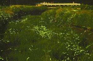 淡い光を放ち、優雅に飛ぶゲンジボタル=福井市本堂町の未更毛川で