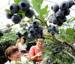 鮮やかな青紫色に色づいたブルーベリー=8日、浜松市北区都田町の「あおいとり」で