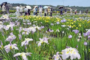 ハナショウブを観賞する観光客ら=あわら市の北潟湖畔花菖蒲園で