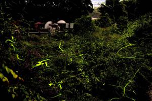 黄緑色に発光し園内を幻想的に舞うホタル=辰野町のほたる童謡公園で(14日午後8時37分、2分30秒間露光)