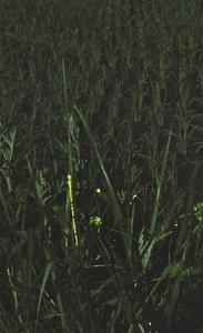 水田の草むらで光を放つヘイケボタル=いずれも石川県白山市渡津町で(多重露光)