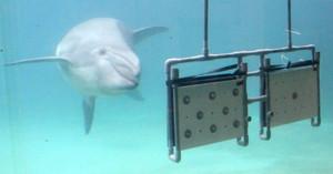 ボルトの多い方の板を選ぶハンドウイルカの「ティーラ」=美浜町の南知多ビーチランドで
