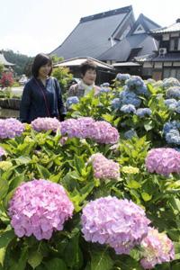 みずみずしい花を咲かせるアジサイ=長浜市余呉町池原で