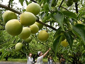 大粒の実をつけ、ほのかに甘酸っぱい香りを漂わせる梅=大津市大石龍門で