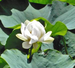 分根されたものでは全国で初めて咲いた「萬歳楽蓮」の花=南越前町の花はす公園で