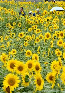 鮮やかな黄色い花が一面を彩るヒマワリ=東近江市妹町で
