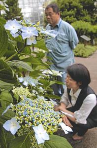 装飾花が中央の花を額縁のように囲むガクアジサイ=氷見市海浜植物園