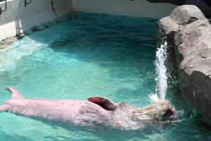 水面に浮かんで「水鉄砲」を披露するセイウチの「キック」=美浜町奥田の南知多ビーチランドで