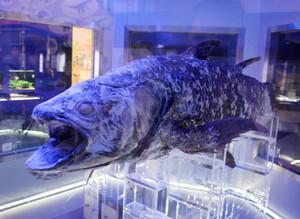 沼津港深海水族館シーラカンス・ミュージアムに展示されている冷凍のシーラカンス=いずれも静岡県沼津市で