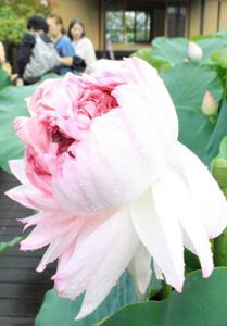 幾重にも重なった花弁が見る人を楽しませる近江妙蓮=守山市中町の近江妙蓮公園で
