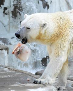 氷の中から餌を取り出そうとするオーロラ=名古屋市千種区の東山動植物園で