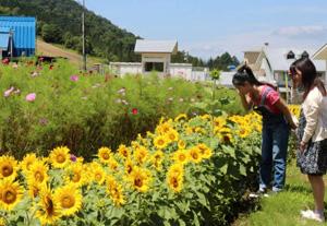 コスモスとヒマワリが並ぶ園内=高山市丹生川町で