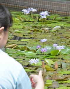 涼しげな色の花を咲かせる熱帯スイレン=碧南市のあおいパークで