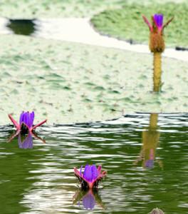 水面から顔を出したオニバスの花=海津市海津町福江で