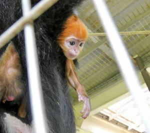 母親のおなかに張り付く姿が愛らしいフランソワルトンの赤ちゃん=鯖江市西山動物園で