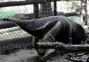 新たに仲間入りしたオオアリクイの「サビオ」=名古屋市千種区の東山動植物園で