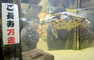 優雅に泳ぎ回る「おじいちゃん」カメ=各務原市川島笠田町の「アクア・トト ぎふ」で