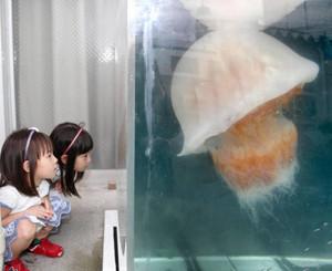 生きたエチゼンクラゲを興味深げに見つめる子どもたち=坂井市の越前松島水族館で
