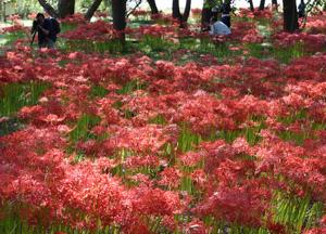 琵琶湖岸を燃えるような赤色で彩るヒガンバナ=高島市今津町桂で
