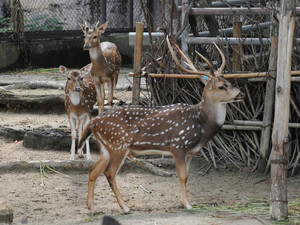 広くなった屋外運動場でのびのび過ごすアクシスジカ=名古屋市千種区の東山動物園で