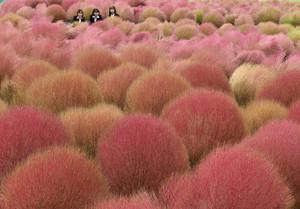赤く色づき始めたコキア=高島市今津町日置前で