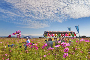 秋空の下、花トラ車に乗ってコスモスを観賞する人たち=福井市の宮ノ下コスモス広苑で
