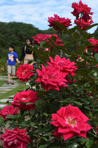 園内に甘い香りを漂わせる秋バラ=可児市の花フェスタ記念公園で