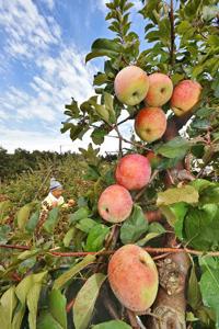 枝もたわわに実り、赤く色付いたリンゴ=あわら市の新保りんご園で