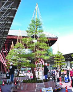 旅行客でにぎわう鼓門前のクロマツに施される雪つり=JR金沢駅で
