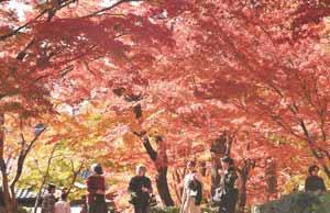 見頃を迎え、境内を鮮やかに彩るモミジ=東近江市の永源寺で