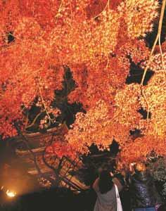 ライトアップされ、三重塔とともに幻想的に浮かび上がる紅葉=大津市の三井寺で