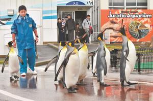 冷たい雨の中、よちよちと散歩するオウサマペンギン=坂井市の越前松島水族館で