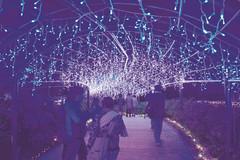 今年新しく登場した「フジ棚の光のトンネル」=浜松市西区で
