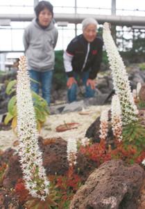 塔のように伸びた茎を小さな花で覆い尽くすツメレンゲ=県中央植物園で