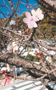 早くもピンク色の花をつけたあたみ桜=熱海市で
