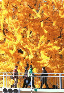 鮮やかに色づいたイチョウ=名古屋市中区錦1で