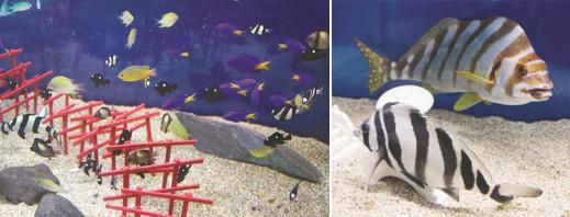 (左)小さな丸い目がスズメに似ているというスズメダイの仲間(右)体のしま模様がタカの羽に似ているタカノハダイ(奥)とユウダチタカノハ=いずれも越前松島水族館で