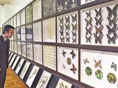 県内に生息するチョウを一度に見られる企画展=静岡市駿河区で
