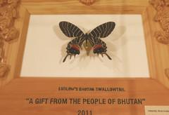 特別に展示されたブータン幻の大チョウ「ブータンシボリアゲハ」=静岡市駿河区で