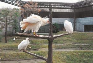 止まり木で羽を休めるトキ=能美市徳山町のいしかわ動物園で