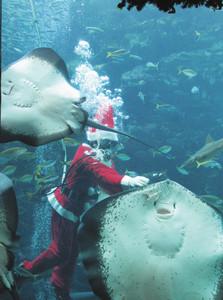ホシエイ(手前右)に餌をプレゼントするサンタ姿の飼育員=下田市の下田海中水族館で