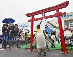 鳥居をくぐり「初詣」に向けた練習をするオウサマペンギン=坂井市の越前松島水族館で