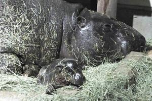 母親のノゾミから生まれた赤ちゃん(手前)=能美市のいしかわ動物園で(同園提供)