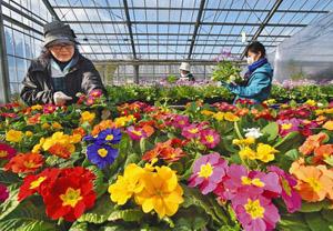 色とりどりのプリムラが見ごろを迎え、春を思わせるハウス内=福井市園芸センターで