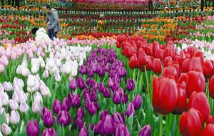 色鮮やかなアイスチューリップが見頃を迎えている会場=安曇野市の国営アルプスあづみの公園堀金・穂高地区で